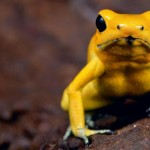 CC9WTE poison frog very poisonous animal with warning colors Phyllobates terribilis Colombia amazon rainforest toxic amphibian